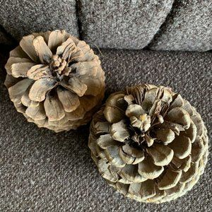 "2 6"" Large Pine cones Real Nature Fall Thanksgivin"
